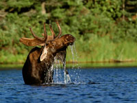 highlands-moose.jpg